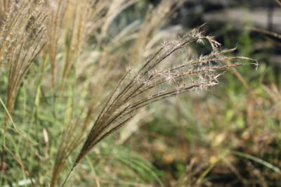 Miscanthus Bloom